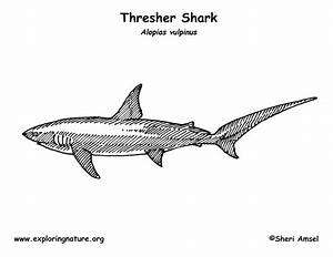 Shark  Thresher  Coloring Page