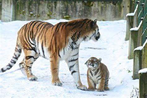 canape blanc bébé tigre content