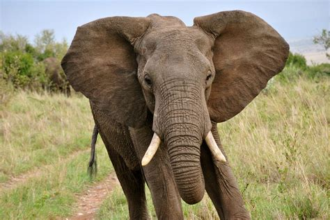 elephants ear what elephants want ranging and raiding in asia and africa everyone the plos one blog