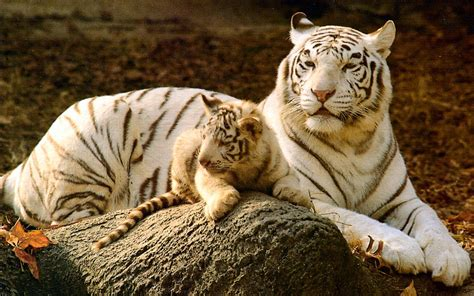 baby tiger white baby white tigers wallpapers 2013 wallpapers