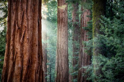 Redwood Forest Iphone Wallpapers