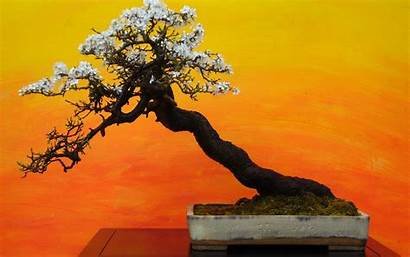 Bonsai Tree Desktop Wallpapers Supported Resolutions Wallpaperboat