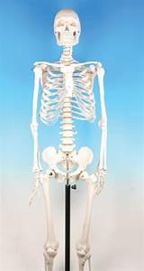 Model Human Skeleton