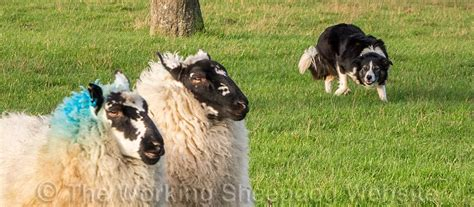 sheepdog terminology  training commands  working