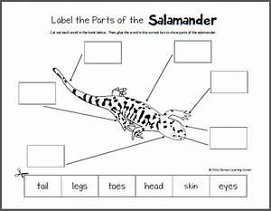 Salamander Life Cycle Diagram