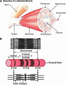 Anatomy Of A Skeletal Muscle And A Sarcomere   A  From