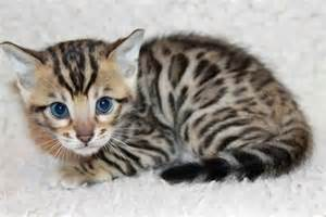 leopard cats leopard kittens the most amazing creatures on the earth