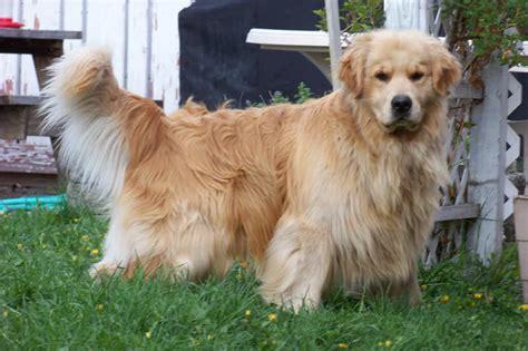 golden retriever puppies  sale  western montana