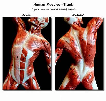 Muscle Anatomy Clipart Muscles Human Trunk Drawing