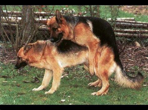 dogs mating dogs mating  giving birth dogs mating