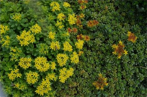 flowering perennial ground cover two different types of perennial flowering ground cover redgage
