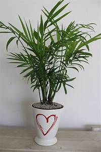 Indoor, Plant, Of, The, Month, For, February, Mini, U0026, 39, Love, Palm, U0026, 39