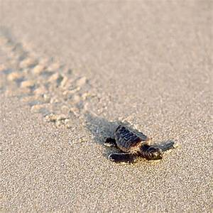 Best Places to See Sea Turtle Hatchlings - Southern Living