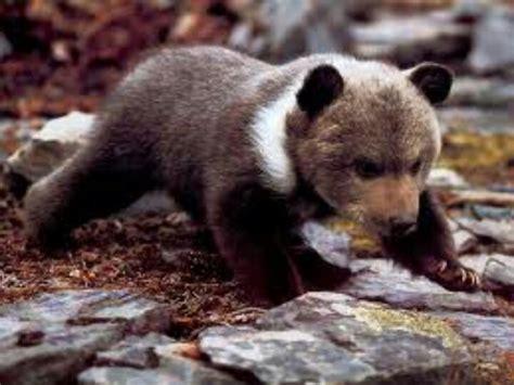 Baby European Brown Bear