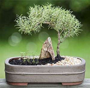Bonsai Baum Pflege : bonsai rosemary and thyme bonsai bonsai bonsai baum bonsai pflege ~ Orissabook.com Haus und Dekorationen