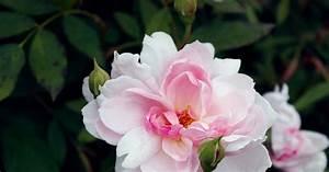 Rose Mein Schöner Garten : englische rose mortimer sackler informationen tipps ~ Lizthompson.info Haus und Dekorationen