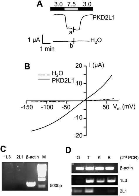 Acid-induced off-response of PKD2L1 channel in Xenopus