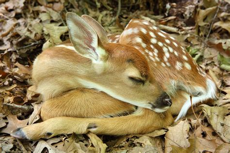adorable sleeping white tailed deer fawn