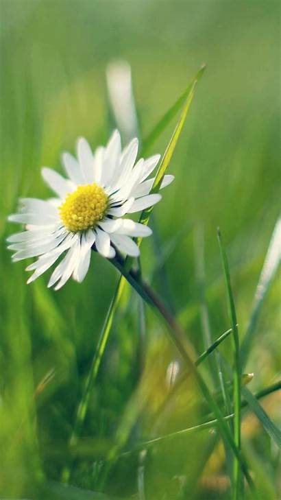 Daisy Iphone Flower Spring Android Flowers Wallpapers