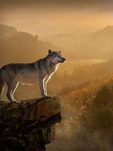 Wallpaper Wolf, Rocks, Forest, Foggy, 4K, Animals, #12785