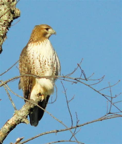red tailed hawk north carolina backyard birds