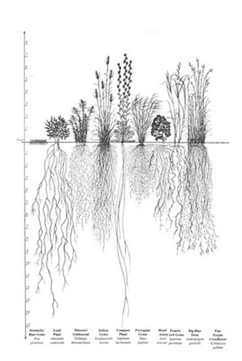 Diagram Of Saguaro Cactu by Cactus Roots Diagram All Of Wiring Diagrams