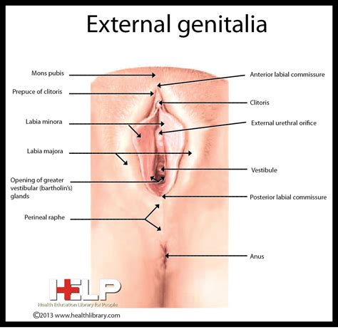 External Genitalia Female Reproductive System