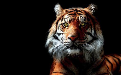 wallpaper gambar harimau  kampung wallpaper