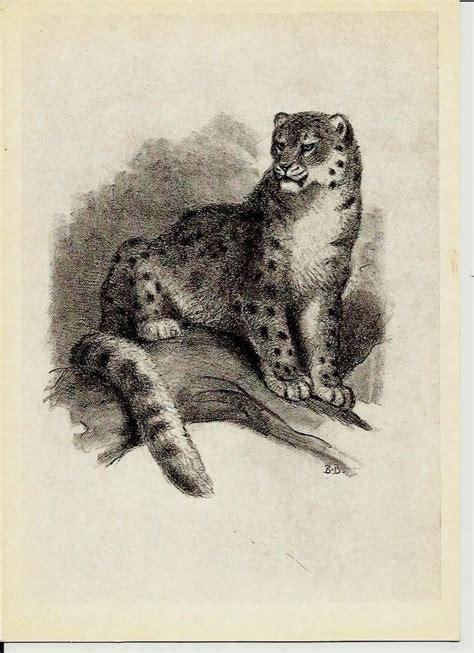 snow leopard illustrations  animals vintage russian