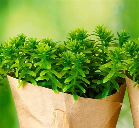 vaso per pianta timo pianta aromatica in vaso per cucina prezzo e vendita
