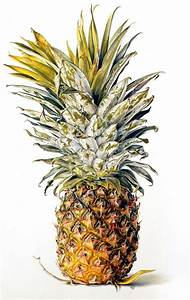 14 best images about Botanical paintings of pineapples on ...