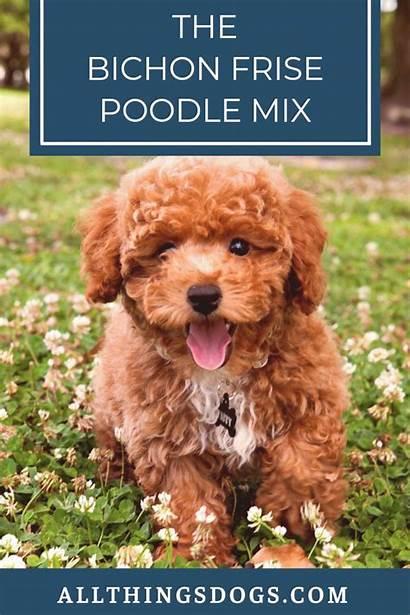 Bichon Frise Poodle Mix Perfect Trend20us