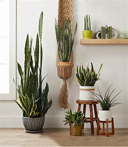 Plants Indoor Plant Snake Grow Houseplants Hanging