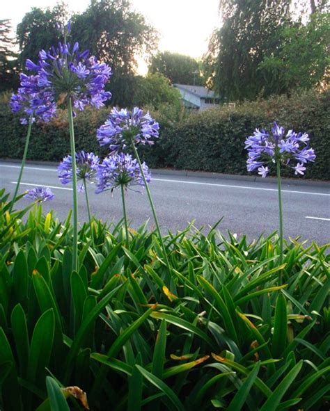 how to divide agapanthus plants 17 best images about agapanthus on pinterest gardens sun and perennials