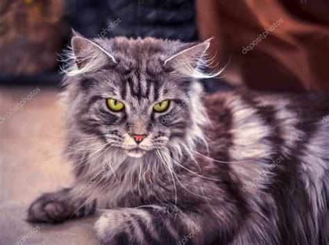 maine coon die groesste katze portraet der graue grosse