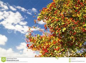 Baum Mit Roten Beeren : baum mit roten beeren stockfoto bild 45464936 ~ Markanthonyermac.com Haus und Dekorationen