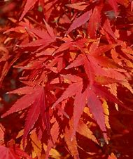 Green Japanese Maple Fall Color