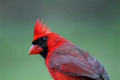 northern cardinals    shake  tail feathers