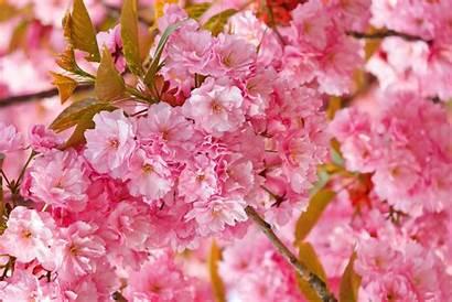 Sakura Backgrounds Cool Wallpapers