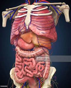Midsection View Showing Internal Organs Of Human Body