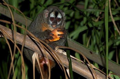 le douroucouli commun singe hibou ou singe de nuit