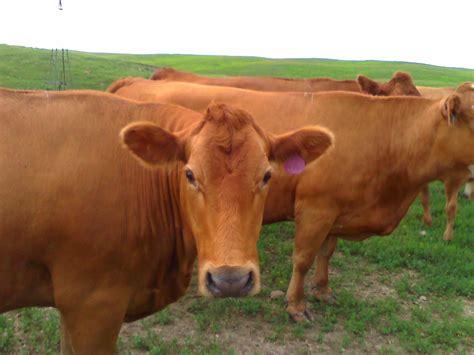 cow tags wag n tales