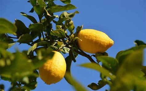limone potatura vaso limoni in vaso potatura limoni in vaso potatura