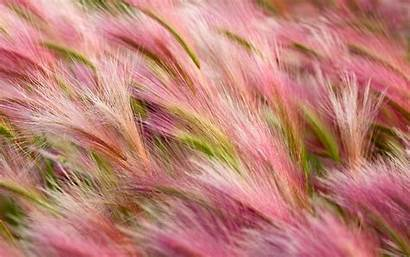 Foxtail Barley Wallpapers Resolutions Nature
