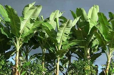 contoh tumbuhan monokotil beserta nama latinnya lengkap