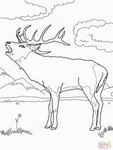 Deer Coloring Pages Mule Printable Buck European Western Supercoloring Colouring Wood Elk Adult Realistic Dede Fighting Books Templates Popular Burning sketch template