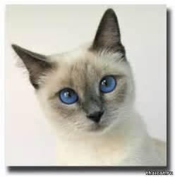 thai cat thai cat