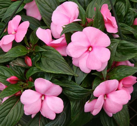 impatiens are dying choose alternative shade plants