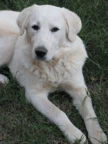 great pyrenees lab mix temperament great pyrenees and