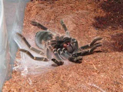 timelapse tarantula molting